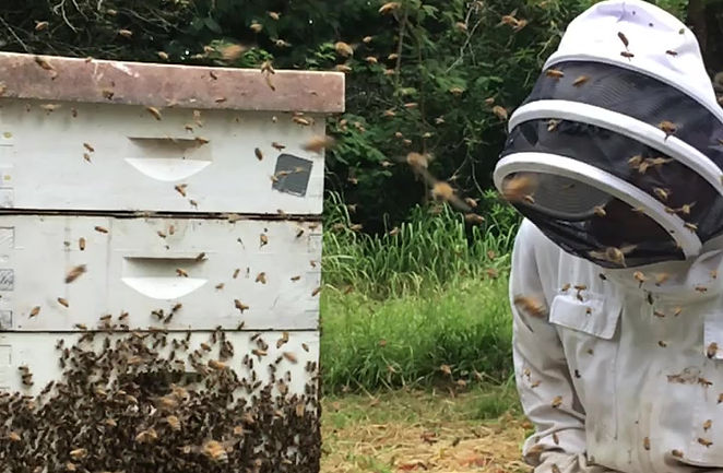 Honey bees at the University of Hawaii's apiary respond to beekeepers disrupting them to check their honey production.