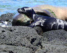 seal 2 NOAA.png