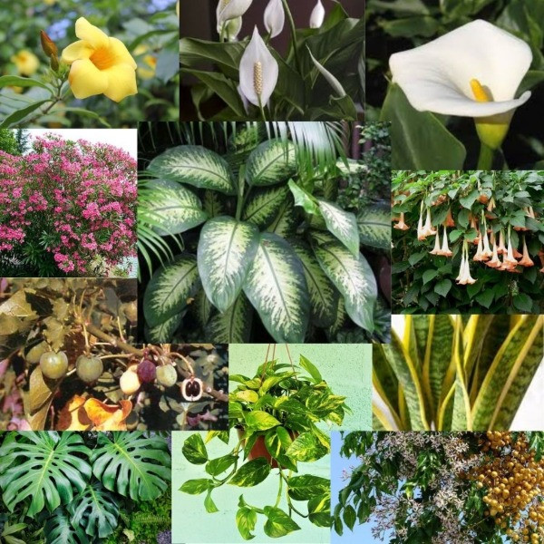 plantas e flores de jardim venenosas
