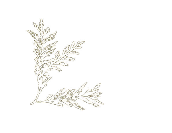 cedar leaf-05.jpg