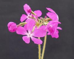 Primula sieboldii 'Gyokko-bai'_P1750815.