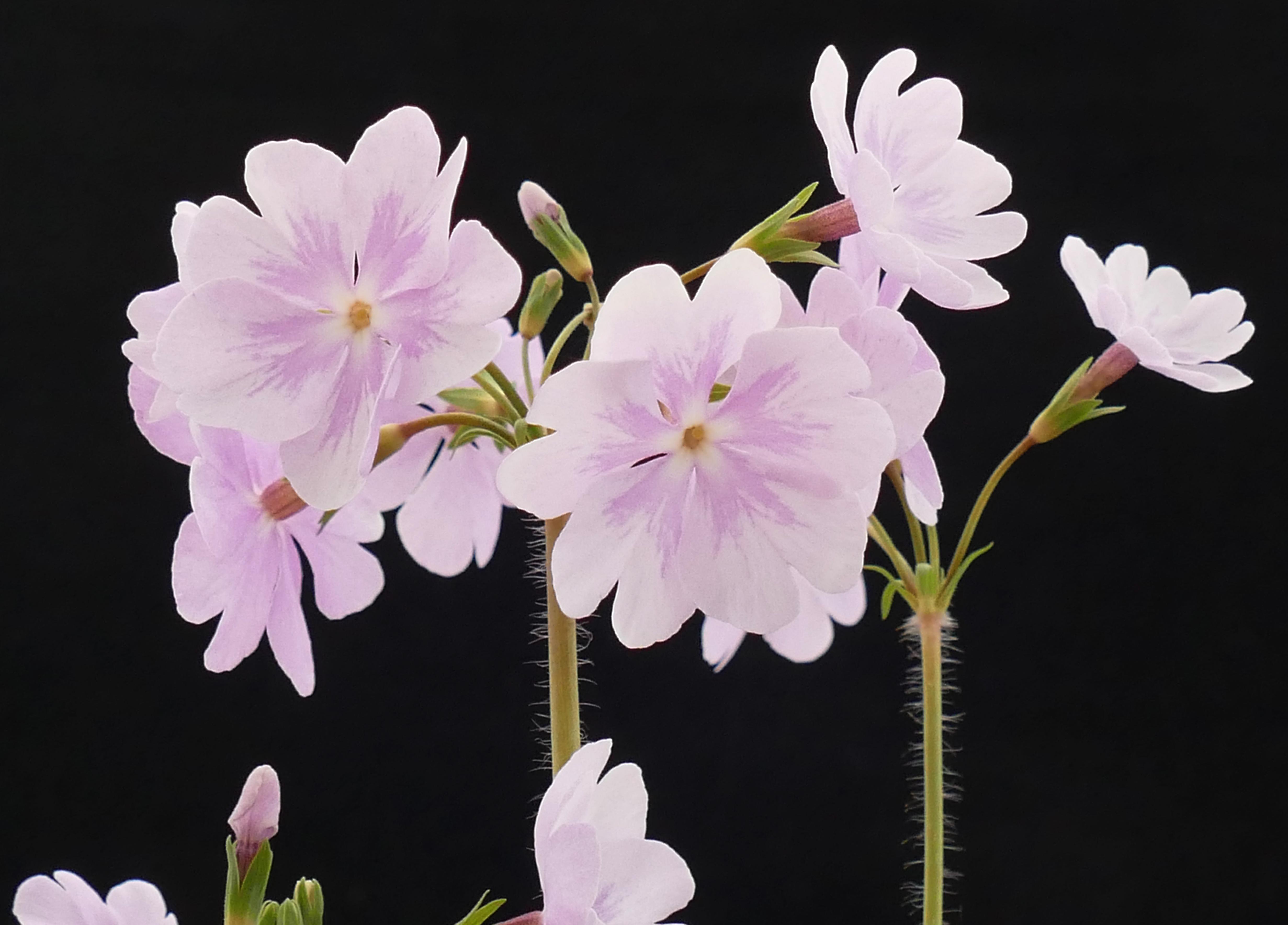 Primula sieboldii 'Hana monyo'_P1750817.