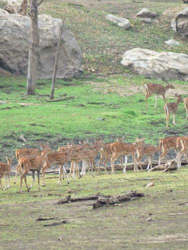 spotted deer pench 7.jpg
