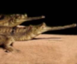 gharial1.jpg