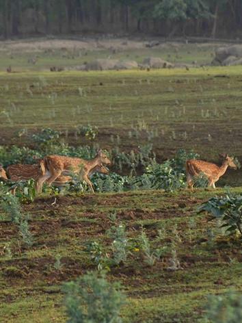spotted deer8.jpg
