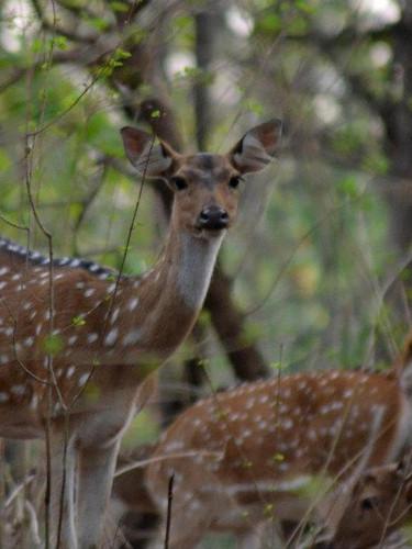 spotted deer9.jpg