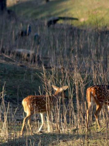 spotted deer pench 3.jpg