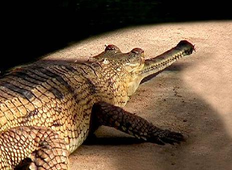 gharial2.jpg