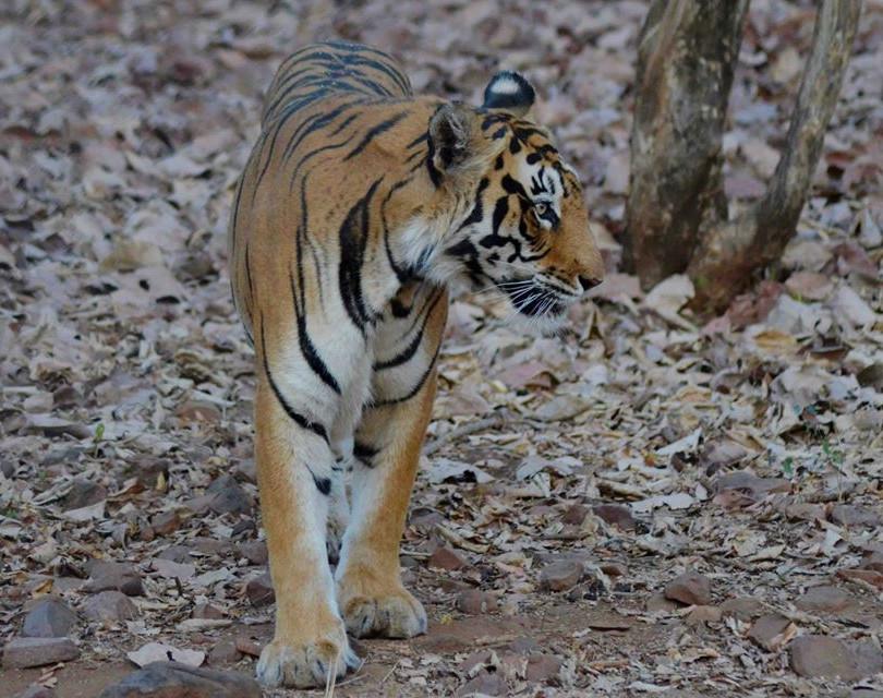 lalit tiger 6.jpg