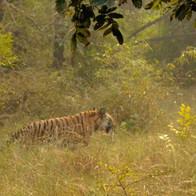 Lalit Bandhavgarh.jpg