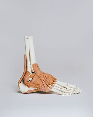 Ankle and Ligaments