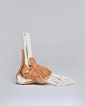 Cheville et ligaments