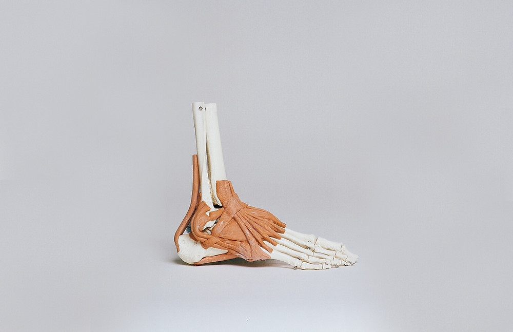 An ankle skeleton with ligaments