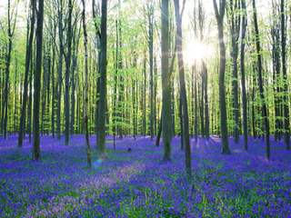 Blue carpet forest