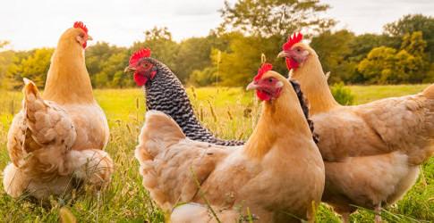 hen-banner-560x250.jpg