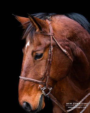 Image of a bay horse against a black background.