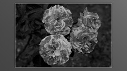 Roses and roses...