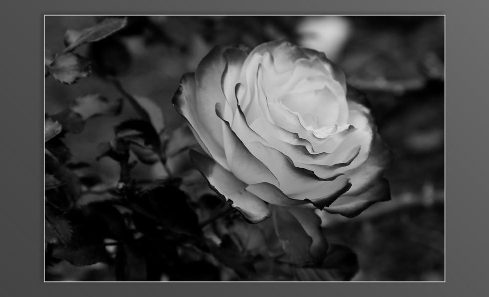 Ooty roses