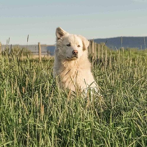 Colorado Mountain Dog