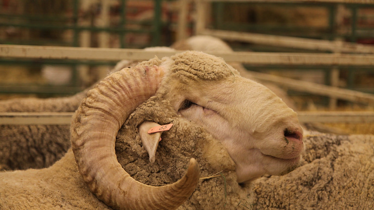Wyoming State Ram & Debut Ewe Sale