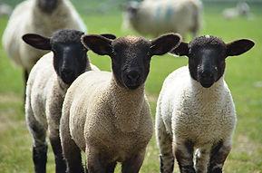 suffolk lambs.jpg