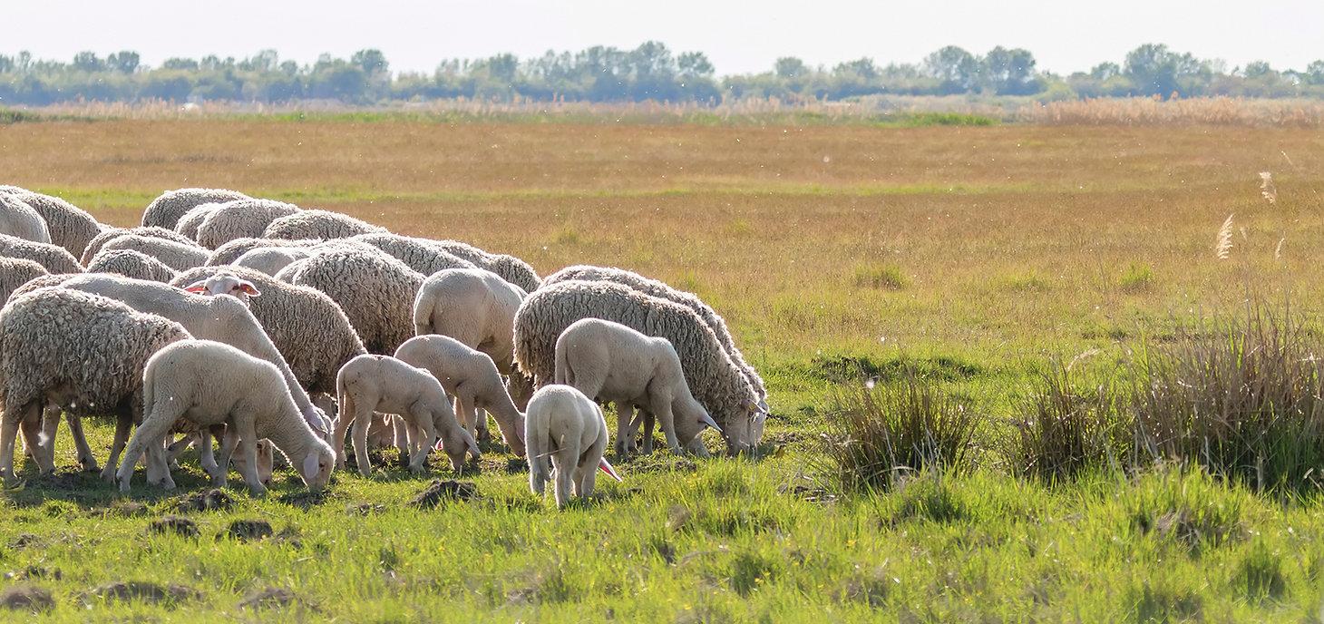 sheep grazing2.jpg