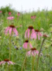 echinacea_in_prairie.jpg
