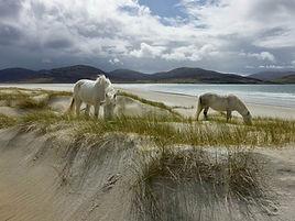 Ponies of Luskentyre