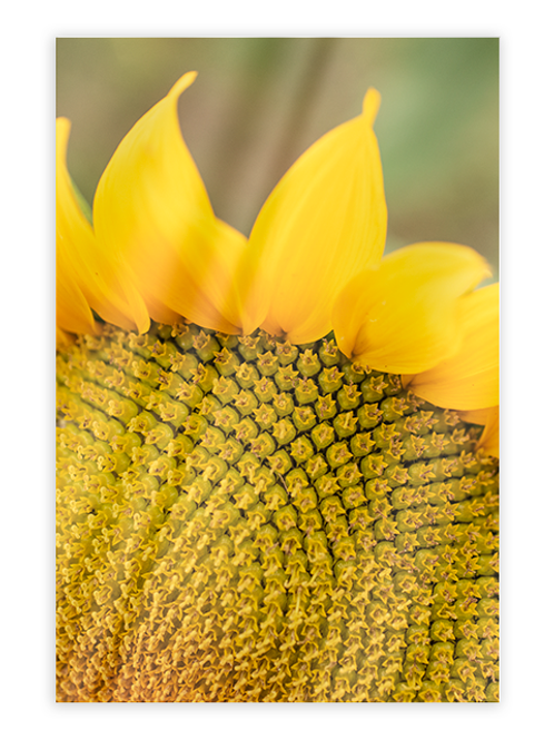 Sunflower Greeting Card #4