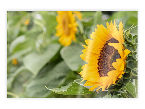Sunflower Greeting Card #3