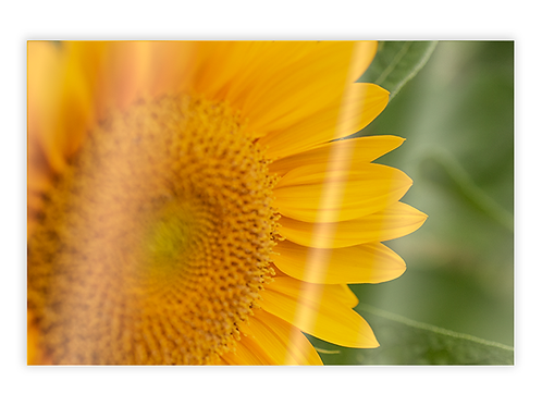 Sunflower Greeting Card #1