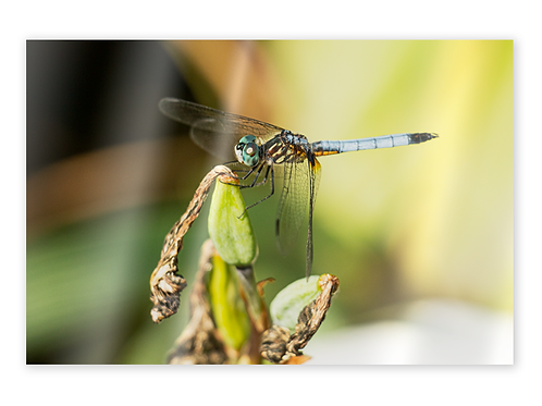 Dragonfly Greeting Card #1