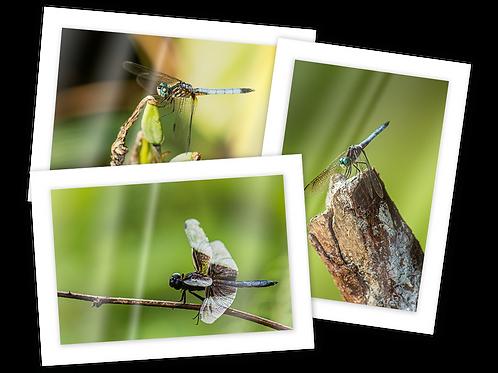 Dragonfly Greeting Card Trio
