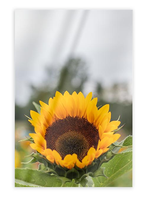 Sunflower Greeting Card #2