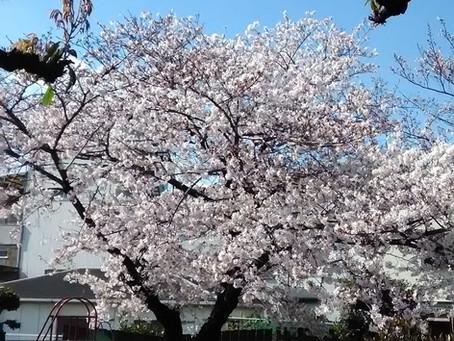 近くの公園の桜が満開