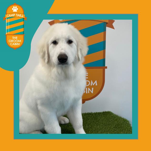 Groom Cabin Pyrenean Mountain Dog
