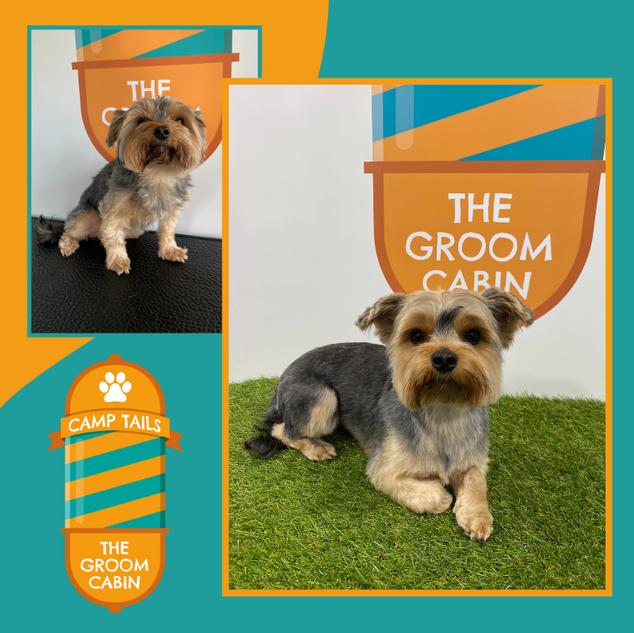 Groom Cabin Yorkshire Terrier