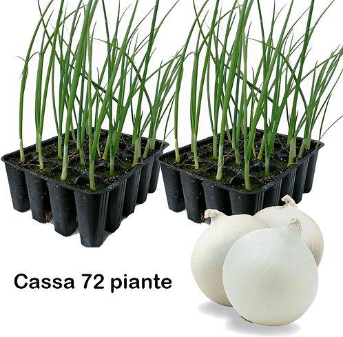 Plateau Cassa 72 Piante di Cipolla Bianca