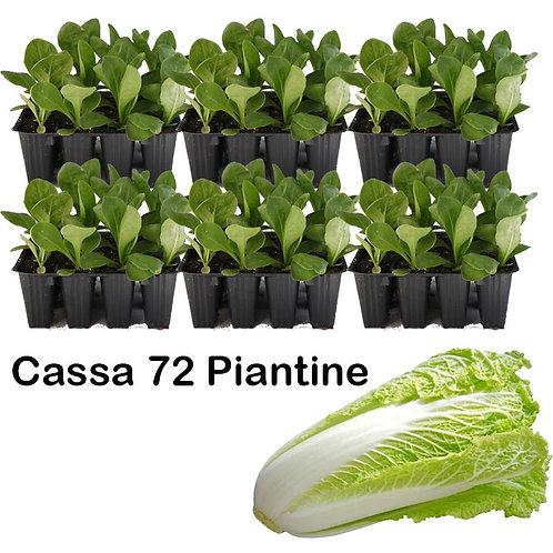 Cassa Plateau 72 Piante Cicoria Pan Di Zucchero