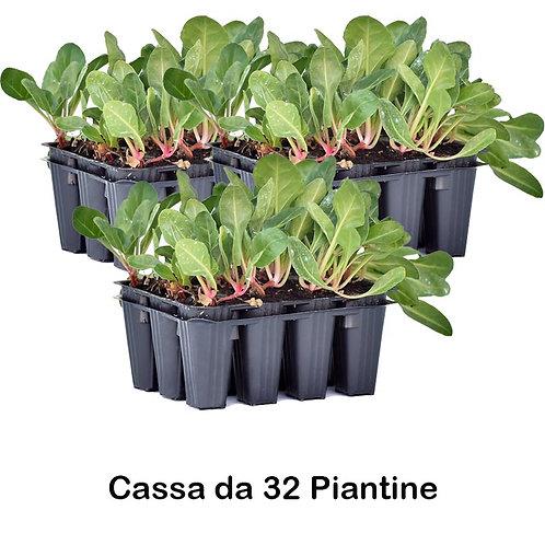 Plateau Cassa 32 Piante di Bietola a Coste