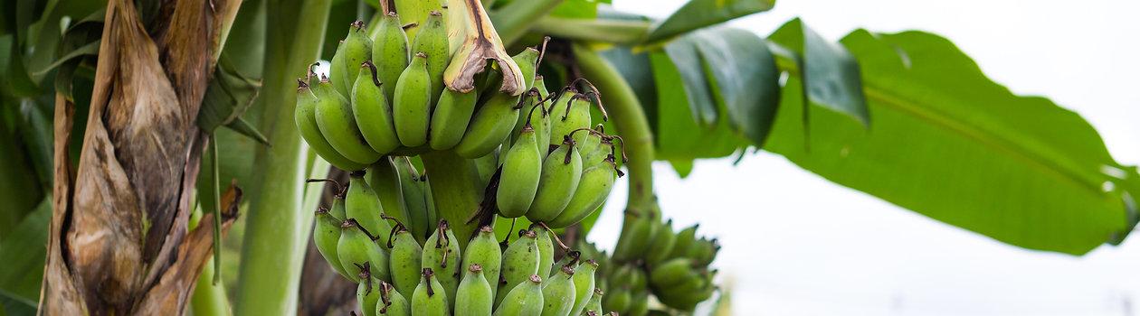 grüne Bananen für Bananenmehl für die Paleo Ernährung