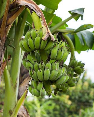 Bananenanbau für gesundes Kochbananenmehl