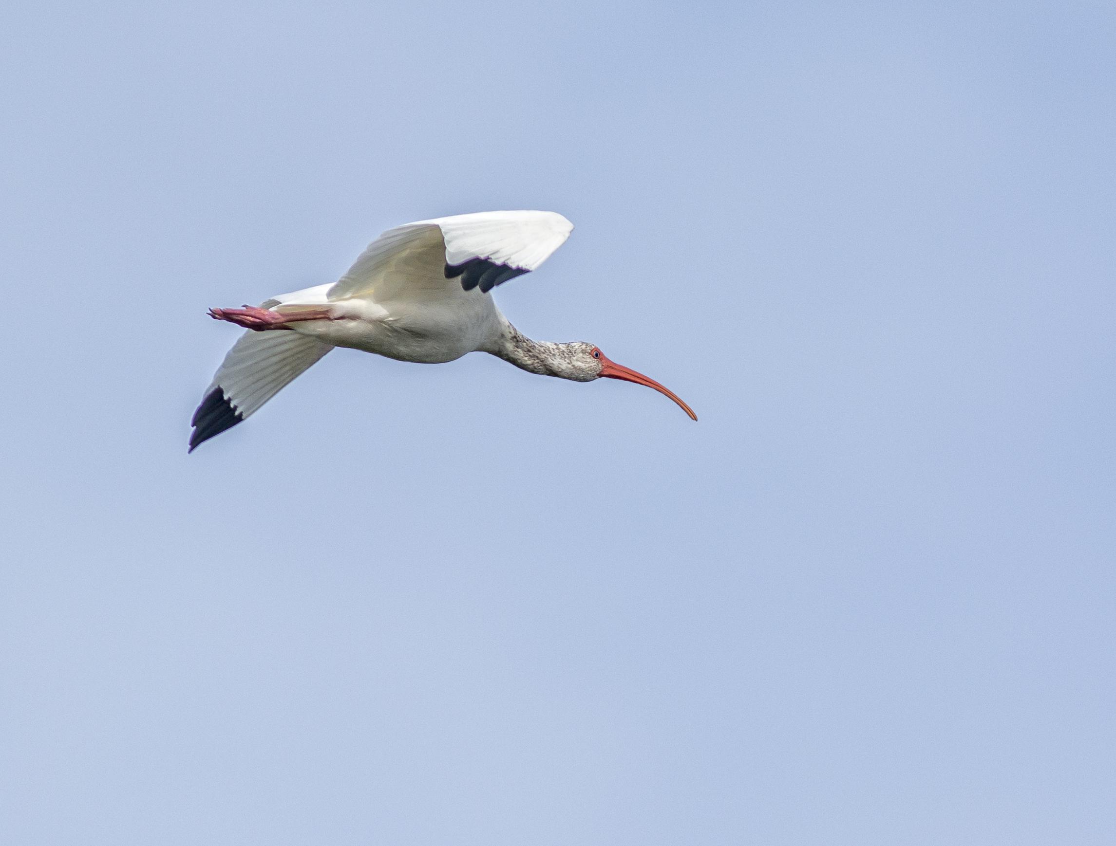 Vit ibis