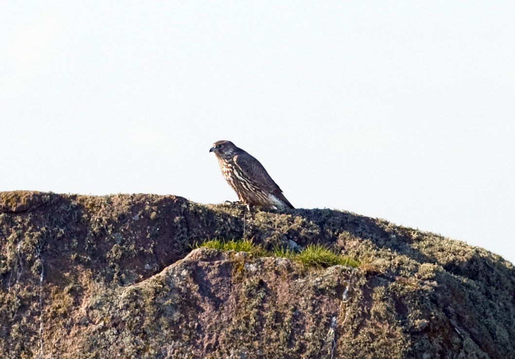 Jaktfalk, ungfågel