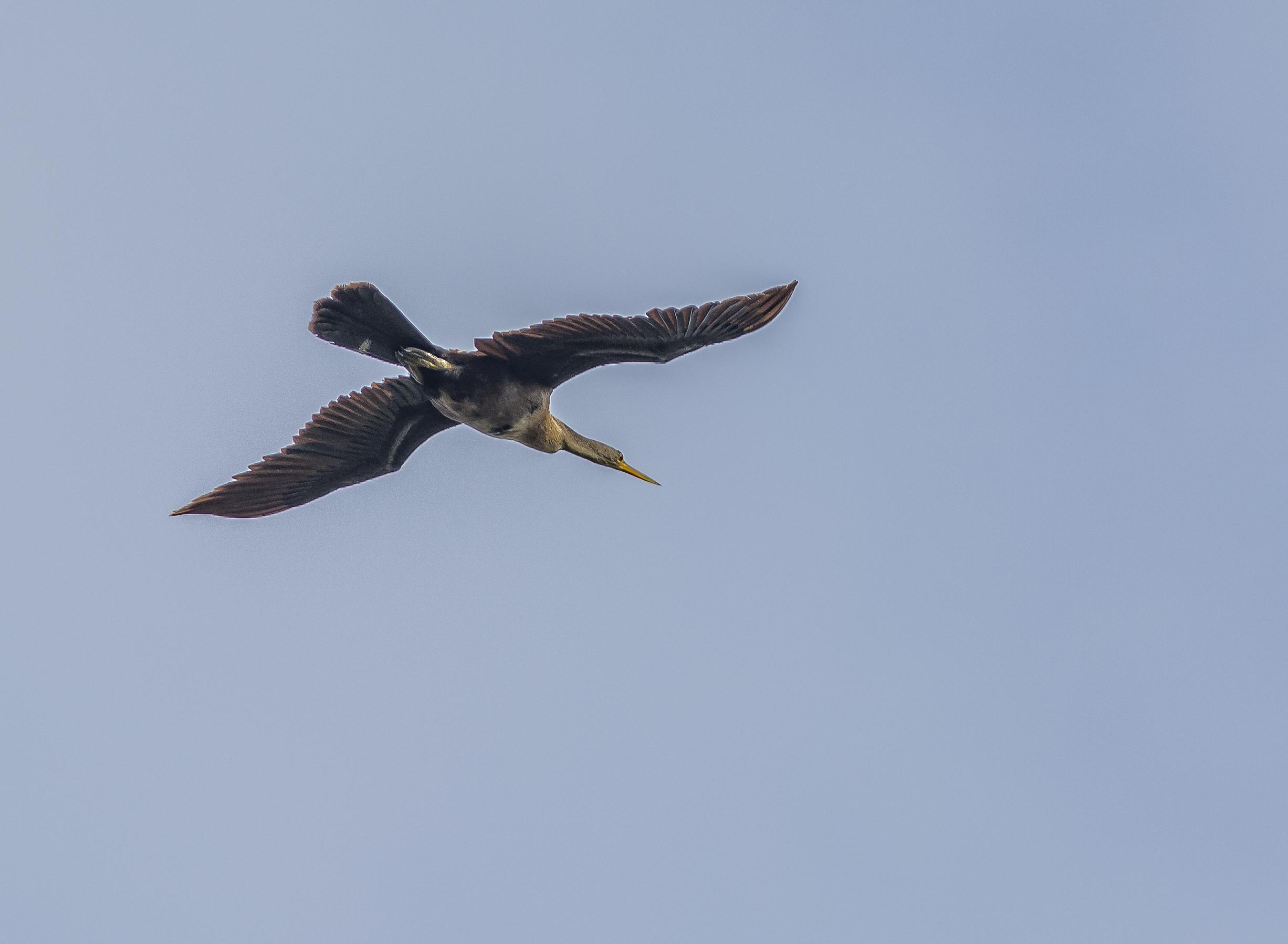 Amerikansk ormhalsfågel