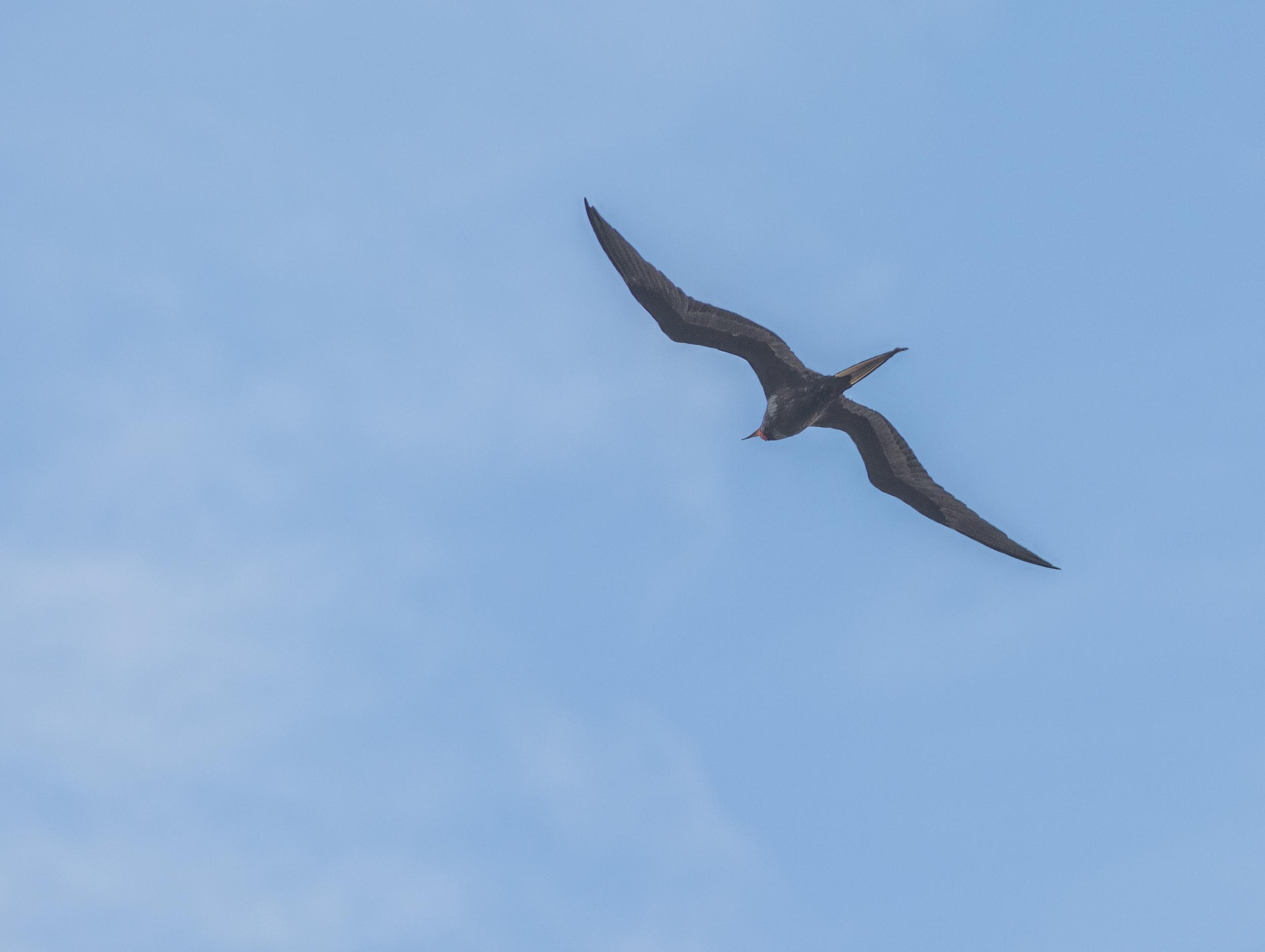 Större fregattfågel, adult