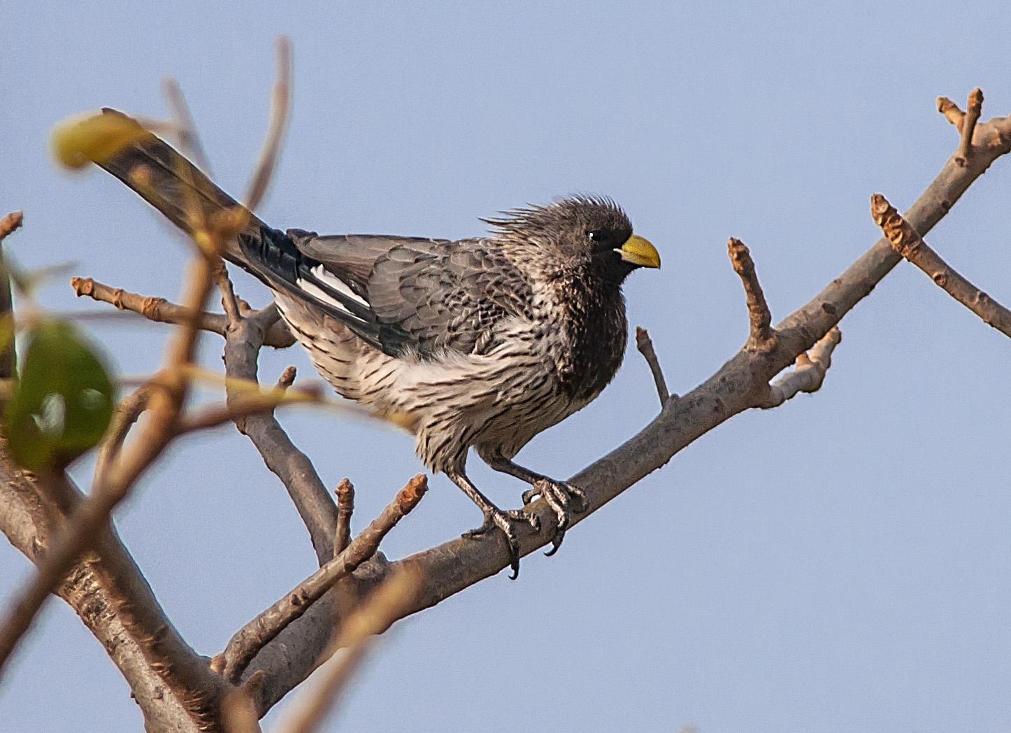 Grå larmfågel