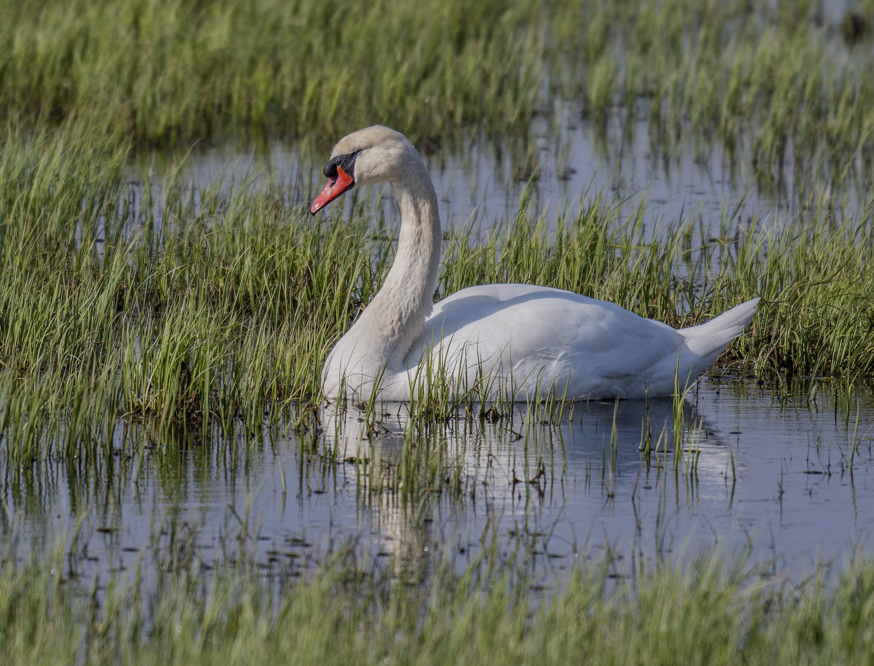 Knölsvan/Mute Swan