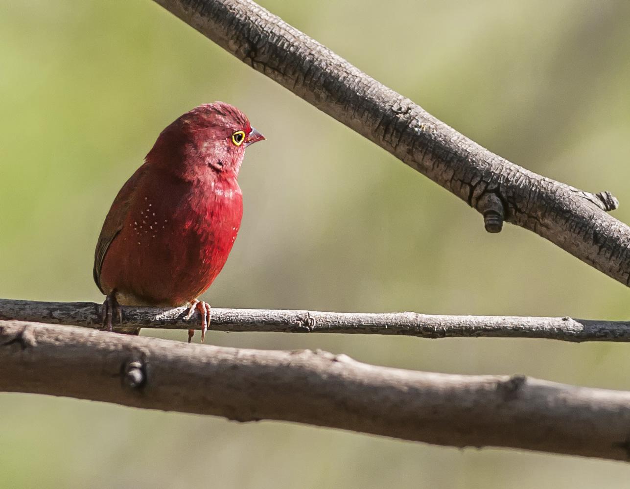Rödnäbbad amarant, hanne