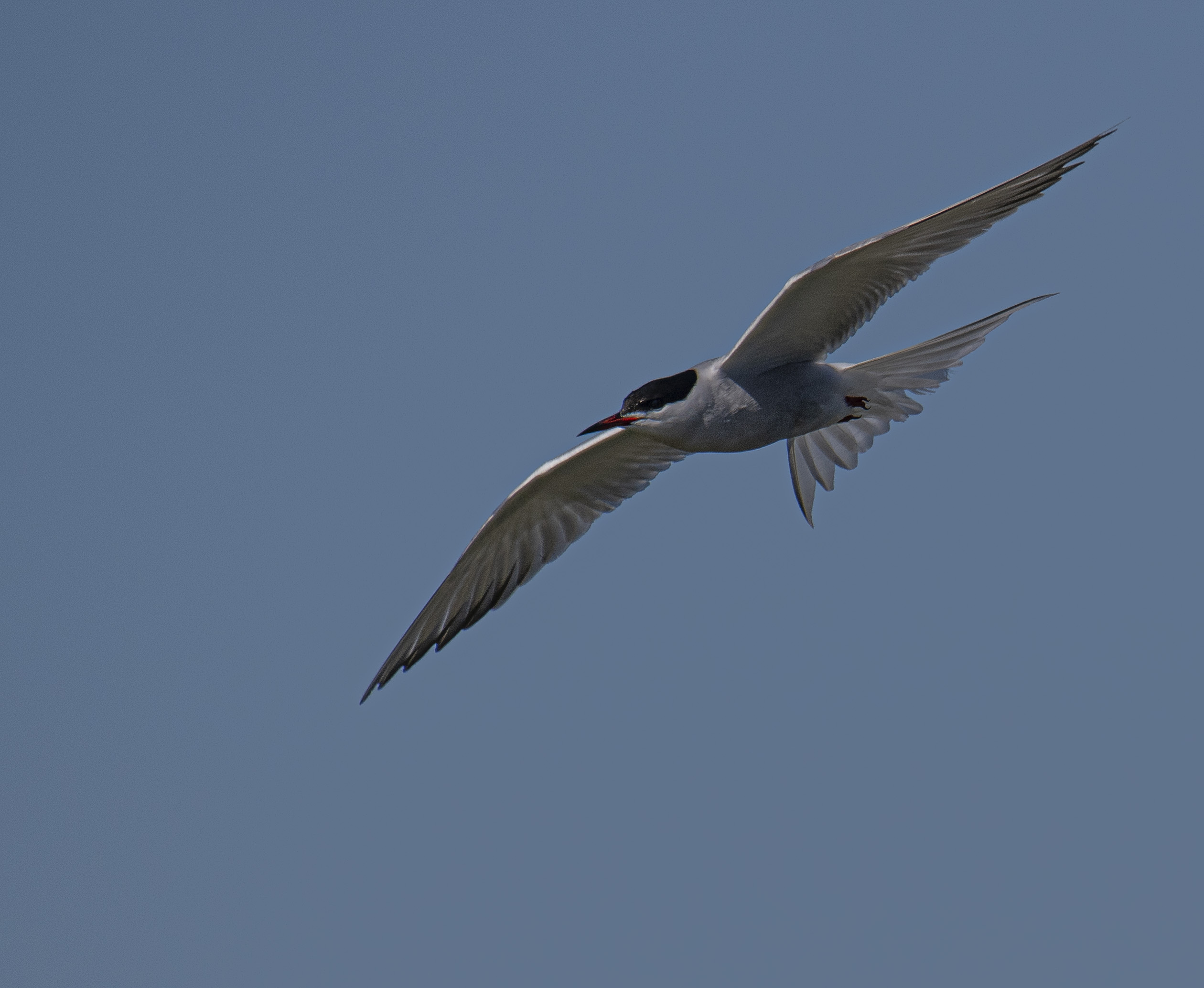 Fisktärna/Common Tern